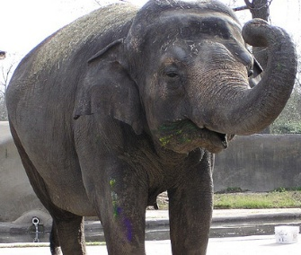 Bozie, an Asian elephant, will soon join the herd at the National Zoo.