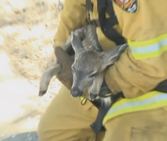 El Dorado Hills, California, firefighters rescued a 2-week-old fawn who was caught on a fence while trying to escape from a grass fire.