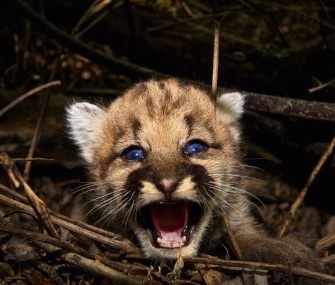 P-44, a mountain lion kitten, will be part of a study by the National Park Service.