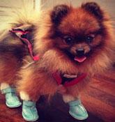 Kelly Osbourne's Pomeranian, Story, sporting booties