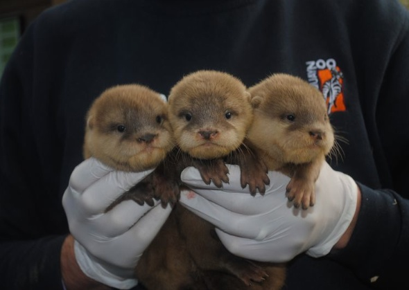 otter cubs Newquay Zoo