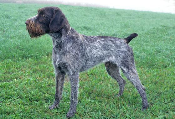 Short Hair Hunting Dog Breeds