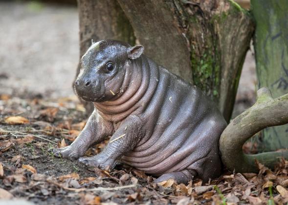 baby pygmy hippo Parken Zoo