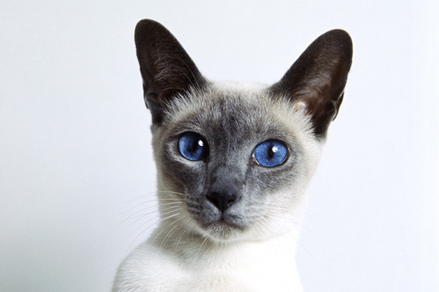 Siamese — The Top Vocal Cat