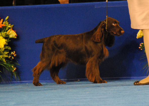 Field Spaniel, Sporting Group Winner for 2012 National Dog Show