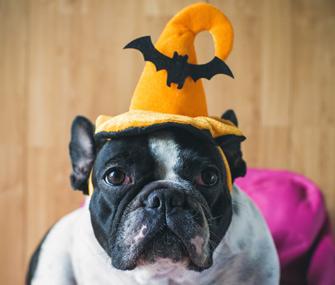 French Bulldog wearing Halloween hat