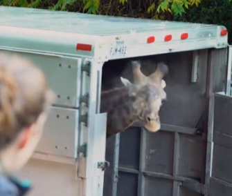 Buttercup, a 2-year-old giraffe, peeks his head out of his trailer before exploring his new home at the Oregon Zoo.