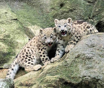 Two male snow leopard cubs made their debut at the Bronx Zoo this week.