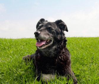 Senior dog in grass