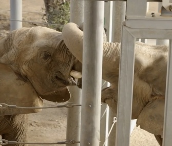 The San Diego Zoo's new elephant Mila meets matriarch Mary.