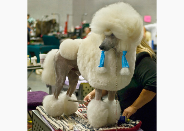 Poodle With Show Cut