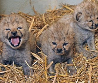 Three cheetah cubs were born last month at Austria's Zoo Salzburg.