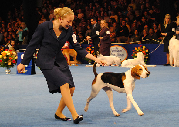National Dog Show English Foxhound