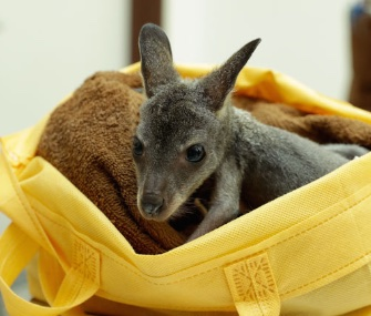 An abandoned wallaby joey has been living in a makeshift pouch made from a reusable shopping bag at a wildlife park in Singapore.