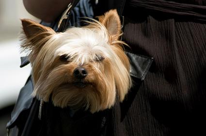 Cute dog in purse