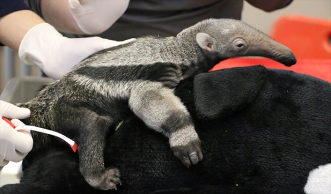 Gabana, a baby giant anteater at the Nashville Zoo