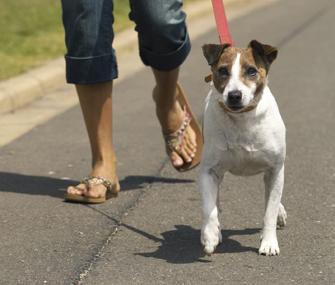 Jack Russell Terrier being walked