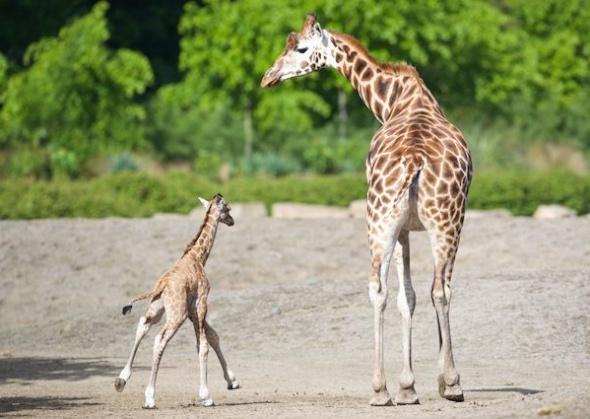 Rothchild giraffe calf at the Dublin Zoo