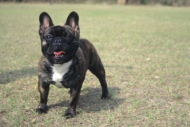 French Bulldog  Outgoing Attention-Seeker