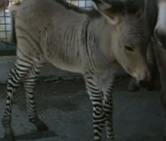 Ippo the zonkey was born at an animal reserve in Italy.