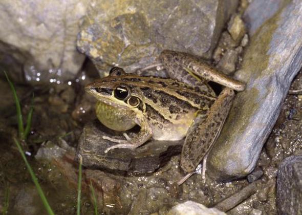 Australian Rocket Frog