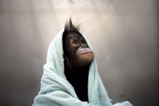 Orangutan wrapped in towel