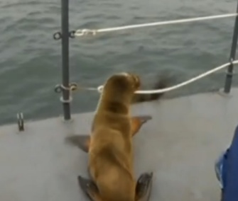 One of the rescued sea lions prepares to dive back into the waters off Peru.