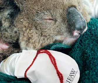 The IFAW is asking volunteers to make mittens for koalas recovering from burns on their paws.
