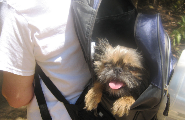 Dora the Shih Tzu-Brussels Griffon mix in a backpack.