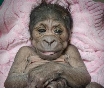 The Oklahoma City Zoo is hand-rearing a baby western lowland gorilla who wasn't being cared for by her mother.