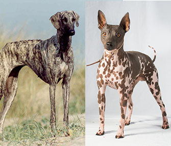 AKC new breeds Sloughi and American Hairless Terrier