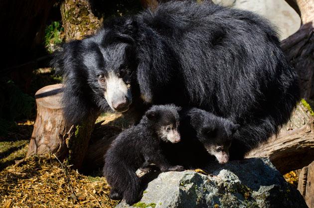 Sloth bear family