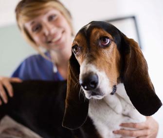 Veterinary technician and Basset Hound