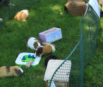 guinea pignic