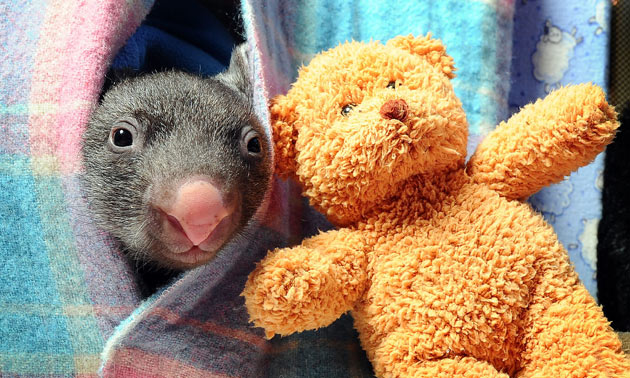 Baby Wombat in Pouch