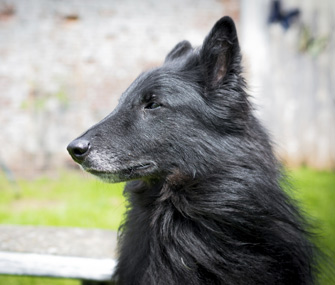 Portrait of senior dog