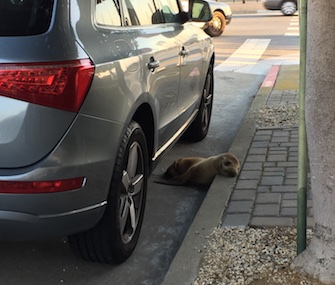 A sea lion pup was rescued from the streets of San Francisco Thursday.