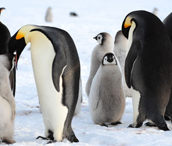 Researchers made the first human contact with this emperor penguin colony in Antarctica last month.