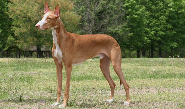 Ibizan Hound Breed Information
