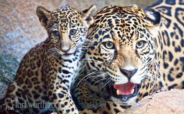 Sasha the jaguar cub sits with her mom, Xochi, at the Fort Worth Zoo.