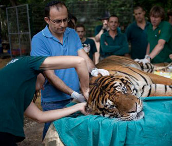 Tiger gets acupuncture for ear infection