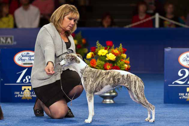 Whippet Show Dog