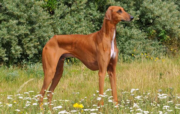 azawakh breed information