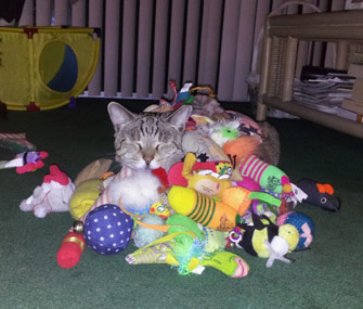 Shay the cat loves toys
