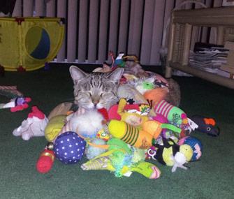 Shay the cat loves toys