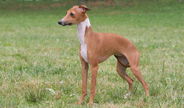 Italian Greyhound Dog Breed Information