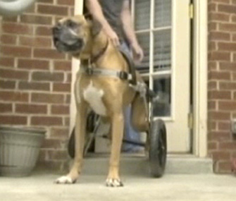 Boy raises money to buy wheelchair for his dog