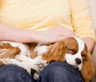 Dog in lap