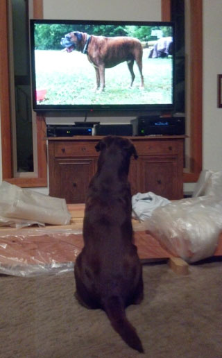 Bones the chocolate Lab watched TV.