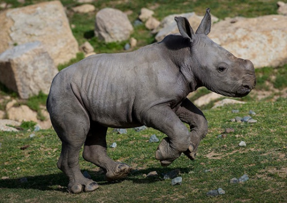 Southern white rhino at the San Diego Zoo Safari Park